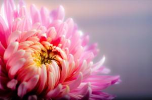 chrysanthemum-202483_1920